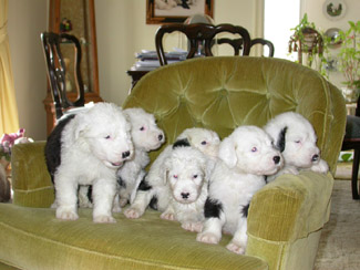 The House of Rex - Old English Sheepdogs
